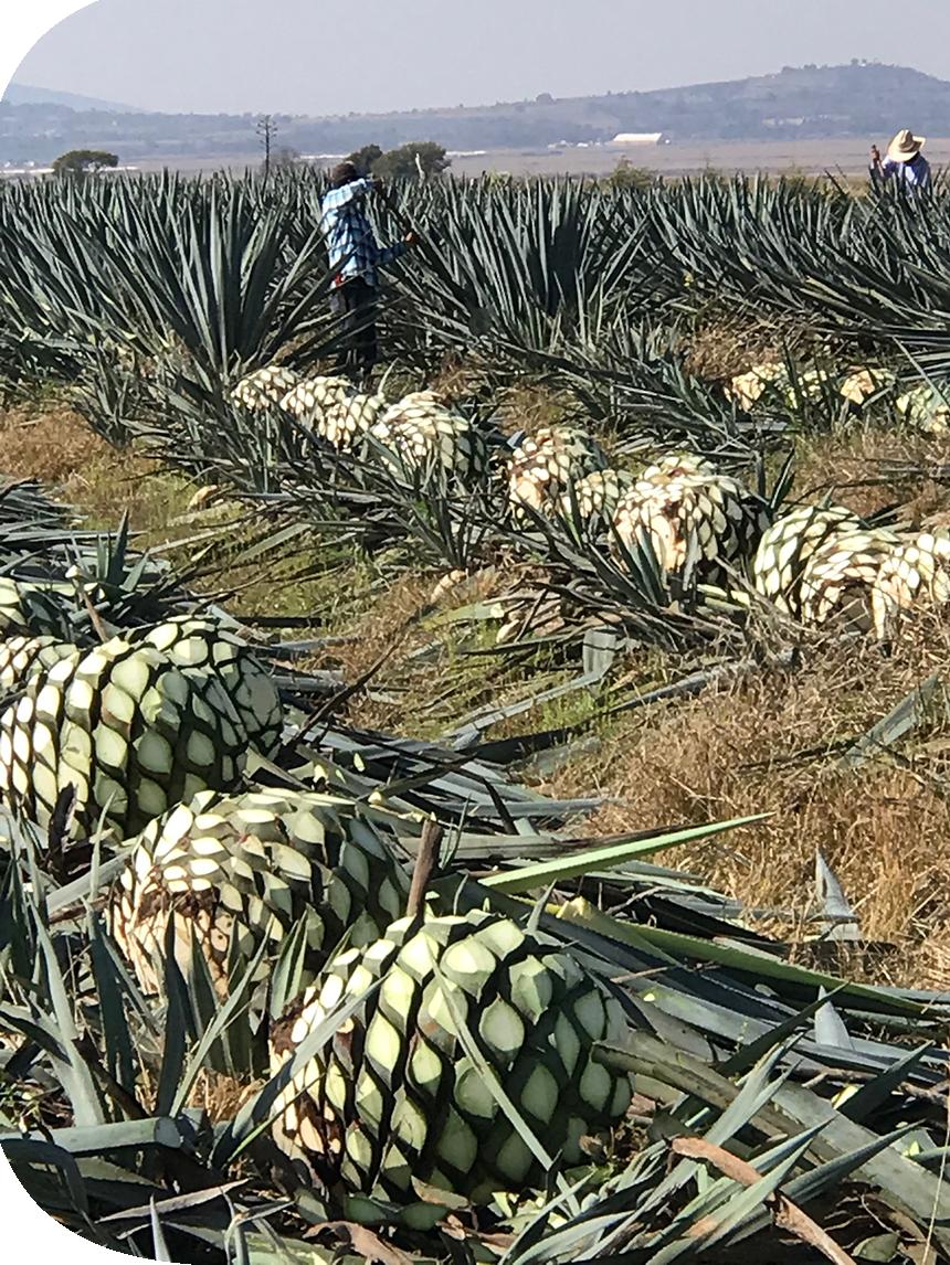 agave farm